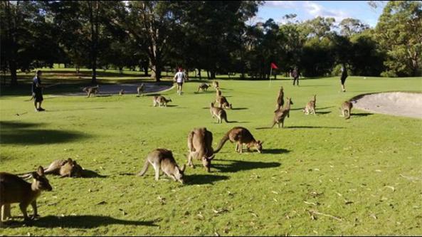 1606_kangaroos_sp